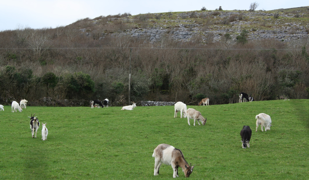 Photograph of goats grazing, representing the commons