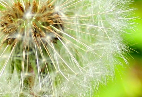 A photographic close-up of dandelion seeds